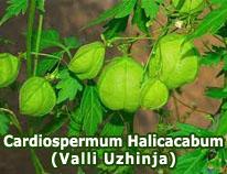 cardiospermum-halicacabum-valli-uzhinja