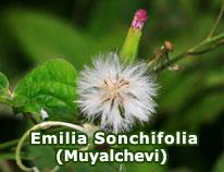 emilia-sonchifolia