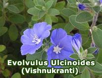 evolvulus-ulcinoides-vishnukranti