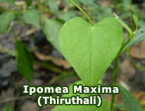 ipomea-maxima-thiruthali