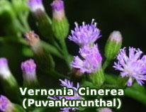 vernonia-cinerea